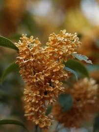 満開の金木犀の花